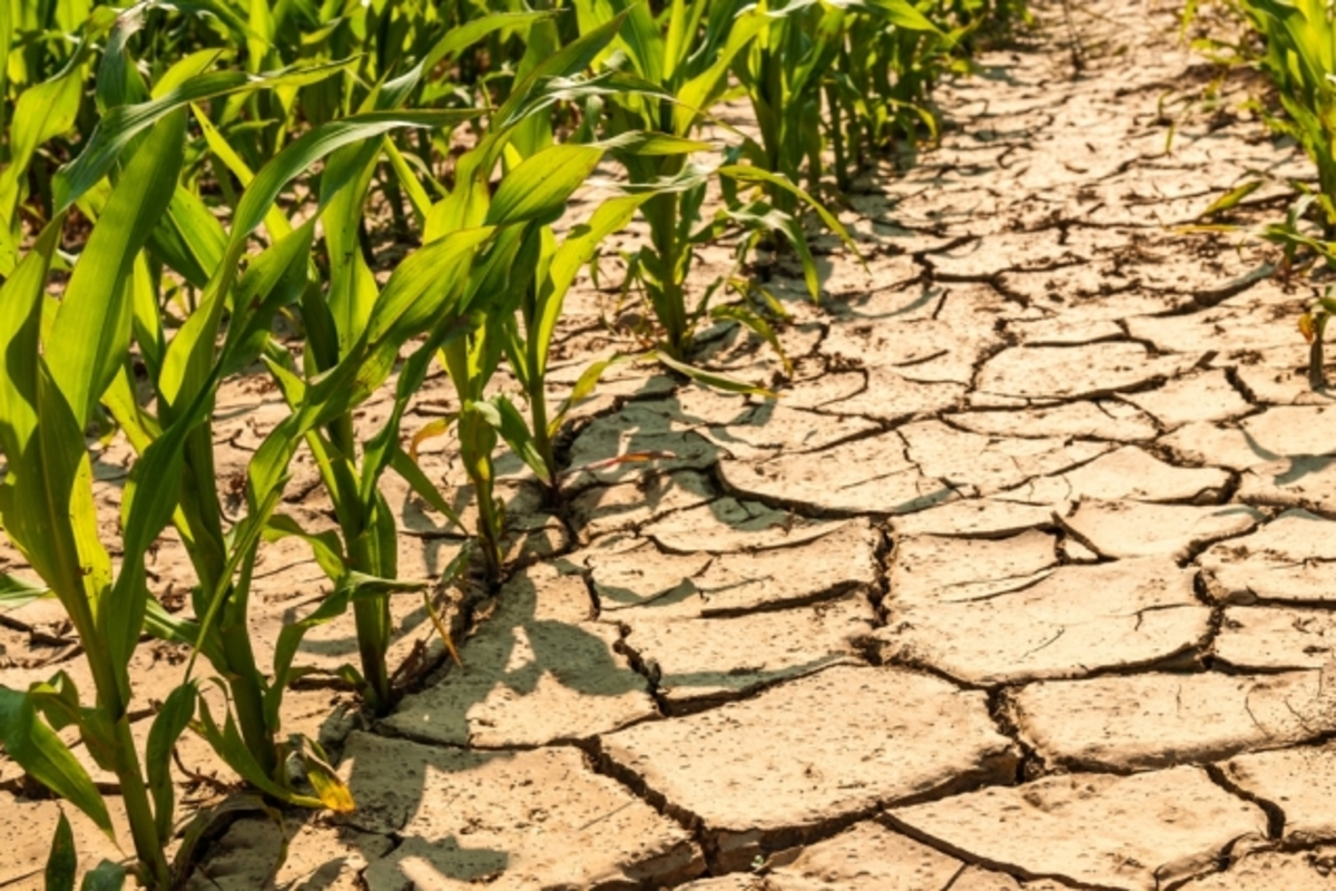 MIT-Maize-Drought_0.jpg (Full)