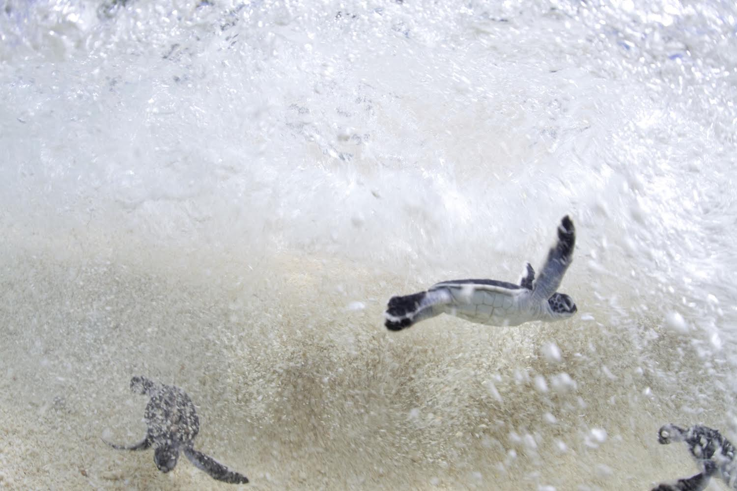 A nest full of newly hatched endangered Green Sea Turtles immediately race into the sea. (Credit © Keith Ellenbogen)